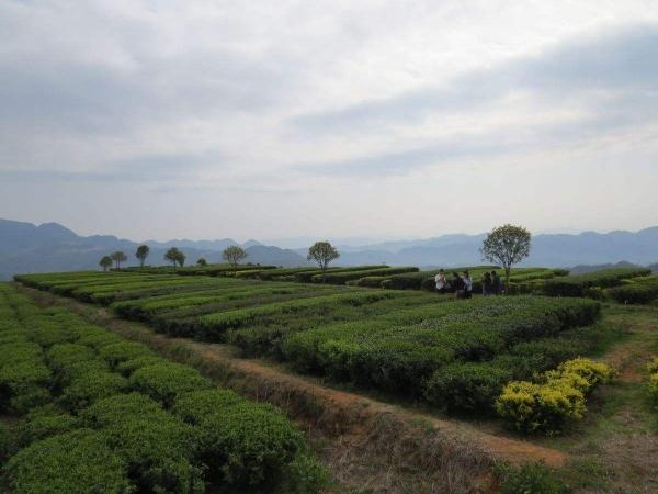福建(安溪华祥苑)张天福有机茶示范基地试验效果对比图
