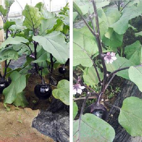 广东大棚茄子使用福建润田生物有机肥效果